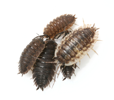 Sow Bugs In The Worm Bin Jenn S Worm Composting Blog